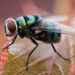 tiempo de duracion de la vida de una mosca